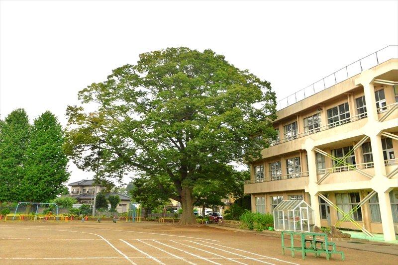学校のシンボルツリーであるケヤキの大木