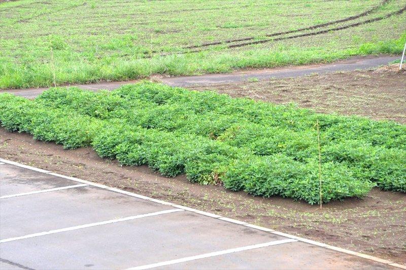 学校協力者の支援をうけながら子どもたちが栽培している落花生
